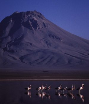 58 pink flamingo, chilean altiplano