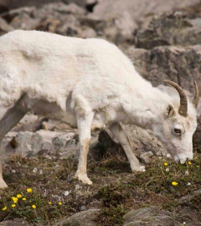 Dall Sheep (2)