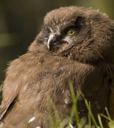 Juvenile Boreal Owl