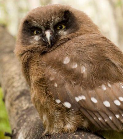 juvenile owl